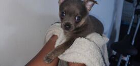 2 Beautiful BOY Chihuahuas Left