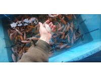 5 Koi carp pond fish for £15 still loads left