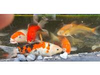 Koi, golden orfe, tench, goldfish, plants, filter, pump - all must go!!!