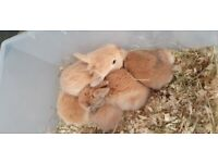 Baby Mini Lion Lop Bunnies 2 LEFT!!