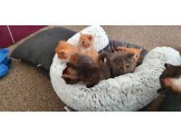 Maine coon xxx kittens