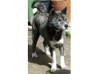 Male akita puppies - ready now