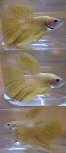 Lemon Yellow Super Delta Betta Fish Gatineau Ottawa / Gatineau Area image 4