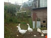 Geese x 3 for sale