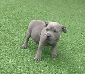 Blue English Staffy pups Lethbridge Golden Plains Preview