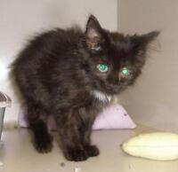 "Baby Female Cat - Domestic Long Hair: ""Bertha 15 (PN 174)"""