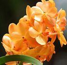 Vanda Plant Orchids
