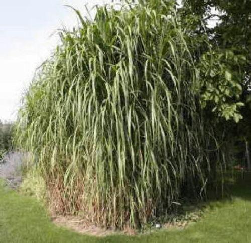 Maiden grass ebay for Maiden fountain grass