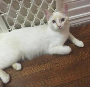 "Young Male Cat - Snowshoe: ""Ace   -  DECLAWED"""
