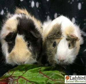Adult Male  - Guinea Pig-Peruvian