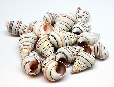 Haitian Tree Snail Rainbow Striped Shells (Case pack 15)