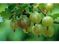 Freshly picked gooseberries, great for making jam . crumbles etc.