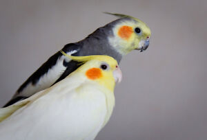 Beautiful Pair of Cockatiel, 1 male, 1 female comes withBIG cage