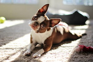Looking for: RED Boston Terrier