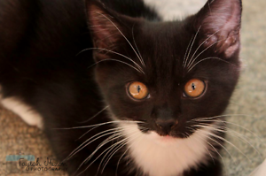 Polly rescue KITTEN to adopt VET WORK INC Craigie Joondalup Area Preview