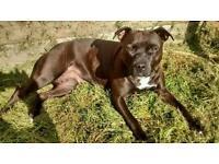 Kc reg Staffordshire Bull terrier puppies