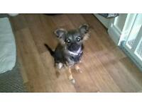 Chihuahua girl 11 months old suite older person lap dog