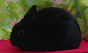 Polish Bunny