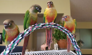 Back to School Sale on Conures