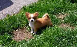 Registered Teacup Chihuahua Puppies