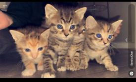 3 Tabby kittens