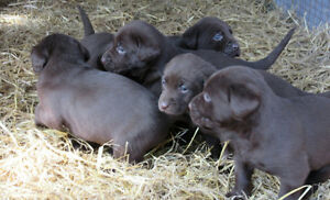 Purebred Chocolate Lab. Puppies For Sale
