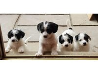 Jackapoo puppies 2 boys & 2 girls ready now