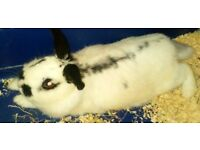 Female adult rabbit black and white