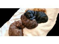 Cockerpoo puppies ready in 3 weeks norfolk