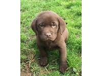 Black and chocolate golden labrador puppies
