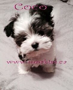 Looking for either male Morkie or Teddy bear Pom or westie