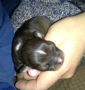 Purebred Teacup Chihuahua Puppies for sale