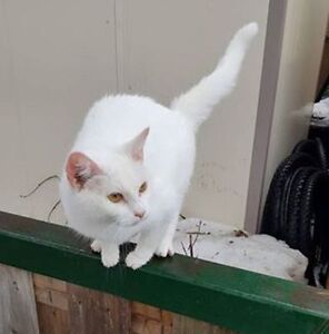 KLAWS:FOUND white kitty Albert St S/Mary St W,Lindsay