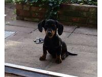 Unbelievable Cute Miniature Dachshund boy puppy