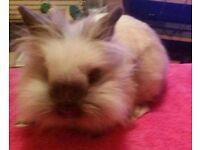 2 Mini Lionhead Rabbits for sale