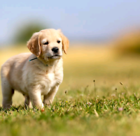 I am searching for a golden retriever puppy female
