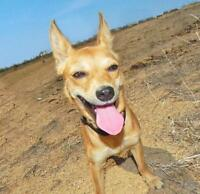 """Young Female Dog - Chihuahua: """"Daisy"""""""