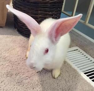 "Adult Male Rabbit - New Zealand: ""Parsnip"" Cambridge Kitchener Area image 2"