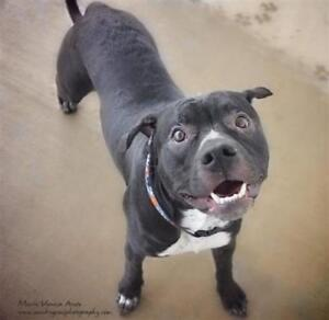 """Young Male Dog - Pit Bull Terrier: """"Wonton"""""""