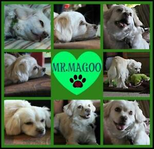 """Young Male Dog - Maltese-Poodle: """"Mr. Magoo"""""""