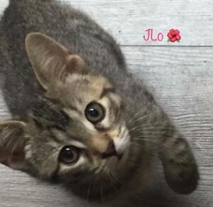 "Baby Female Cat - Domestic Short Hair: ""JLo"""