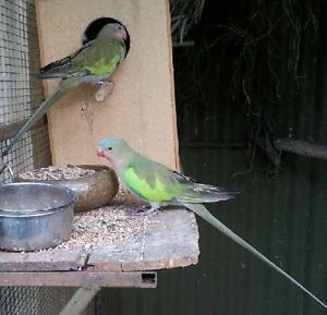 Baby princess parrot's Smithfield Playford Area Preview