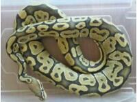 Orange ghost ball python