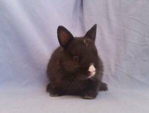 Christmas Netherland Dwarf Rabbit Babies Joondalup Joondalup Area Preview