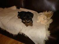 Puppies Havanese xYorkshire Terrier for sale