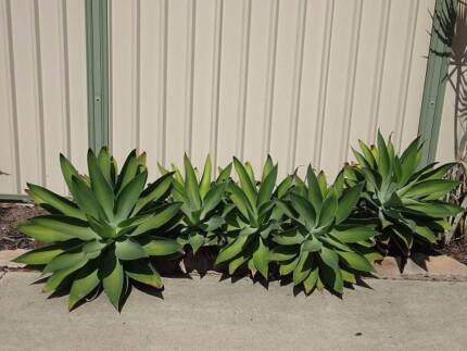 Statement plants - Agaves in various sizes