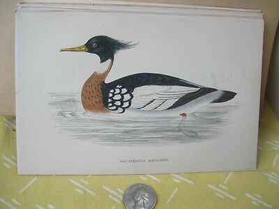Vintage Print,RED BREASTED MERGANSWER,History British Birds,Morris,c1870