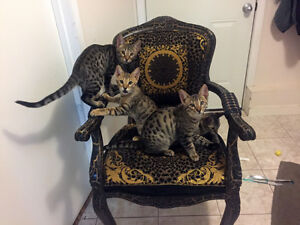 Purebred Savannah Kittens - TICA Registered
