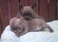Blue Male French Bulldog  Puppies for sale