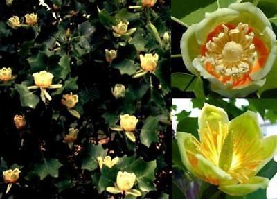 blühende duftende Gartenbäume : Tulpenbaum aus Nordamerika bis 60 Meter h. Deko - Blühende Kräuter Duft